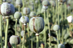 Opium, derived from the poppy plant seen here, was brought in to China in great quantities by the British in the first half of the 19th Century.